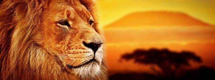 rey león ecología